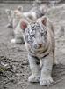 Weiße Tiger Kindergarten 20