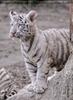 Weiße Tiger Kindergarten 21