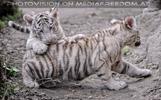 Weiße Tiger Kindergarten 24
