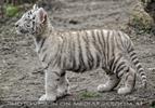 Weiße Tiger Kindergarten 25