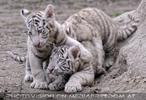 Weiße Tiger Kindergarten 26