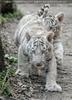 Weiße Tiger Kindergarten 27
