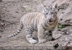 Weiße Tiger Kindergarten 28