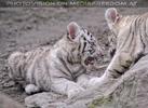 Weiße Tiger Kindergarten 31