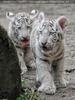 Weiße Tiger Kindergarten 32