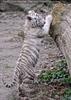 Weiße Tiger Kindergarten 34