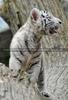 Weiße Tiger Kindergarten 37