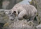 Weiße Tiger Kindergarten 38