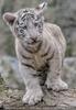 Weiße Tiger Kindergarten 39
