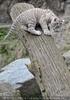 Weiße Tiger Kindergarten 40