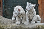 Weiße Tiger Kindergarten 42