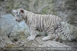 Weiße Tiger Kindergarten 43