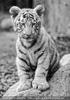 Weiße Tiger Kindergarten 45