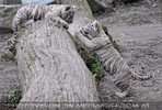 Weiße Tiger Kindergarten 46