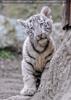 Weiße Tiger Kindergarten 48