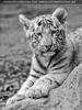 Weiße Tiger Kindergarten 49