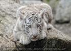 Weiße Tiger Kindergarten 50