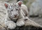 Weiße Tiger Kindergarten 51