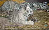 Weiße Tiger Kindergarten 54
