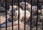 Weiße Tiger Zwischenstation