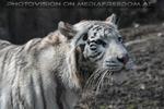 Weiße Tigerin