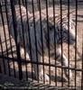 Weißer Tiger Kontakt