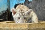 Weißer Tiger Nachwuchs 06