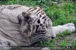 Weißer Tiger Nachwuchs 19