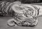 Weißer Tiger Nachwuchs 21