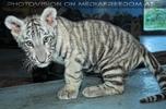 Weißer Tiger Nachwuchs 31