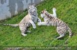 Tigerspiel