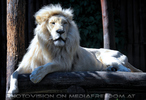 White Lion love 04