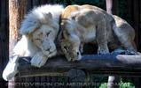 White Lion love 07