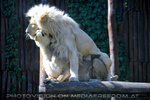White Lion love 14 (White Lion)