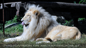 White Lion love 17 (White Lion)