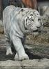 White Tiger Achilles