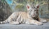 White Tiger Family 05