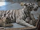White Tiger Family 06