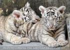 White Tiger Family 09
