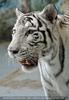 White Tiger Family 11