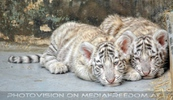 White Tiger Family 12