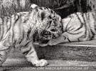 White Tiger Family 14