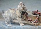 White Tiger Family 16