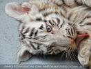 White Tiger Family 18