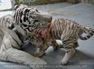 White Tiger Family 19