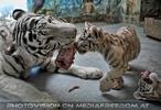 White Tiger Family 20