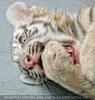 White Tiger Family 23