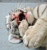 White Tiger Family 24