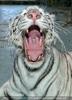 White Tiger Family 32