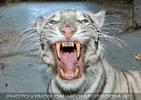 White Tiger Family 34